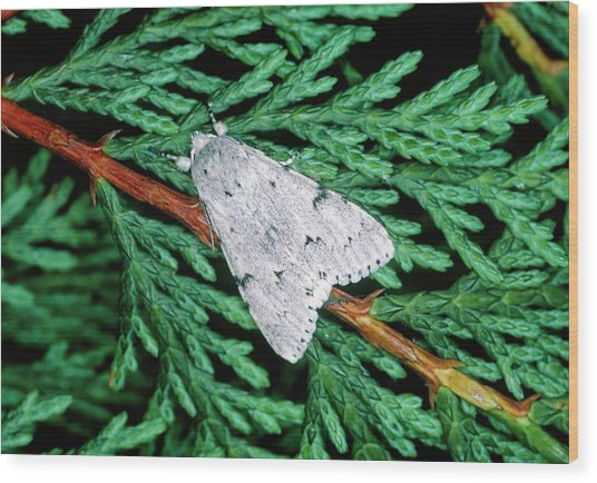 Miller Moth (acronicta Leporina) Wood Print by Tony Wood/science Photo Library