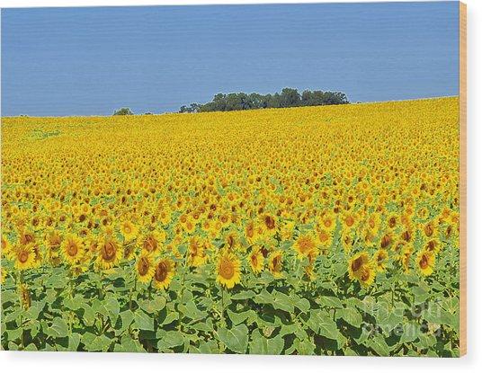 Millions Of Sunflowers Wood Print