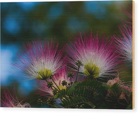 Mimosa Blossoms Wood Print