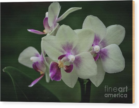 Minature Orchids Wood Print by Carol A Commins