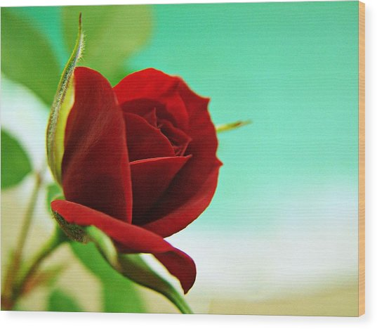 Miniature Rose Wood Print