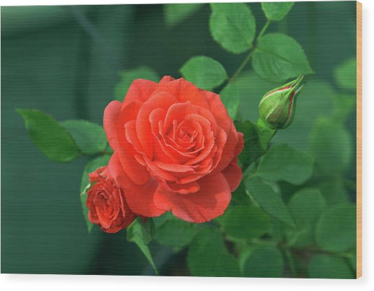Miniature Rose (rosa 'patiohit') Wood Print by Brian Gadsby/science Photo Library