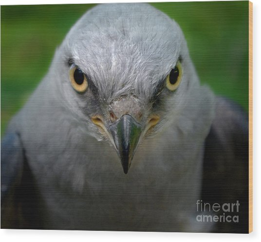 Mississippi Kite Stare Wood Print