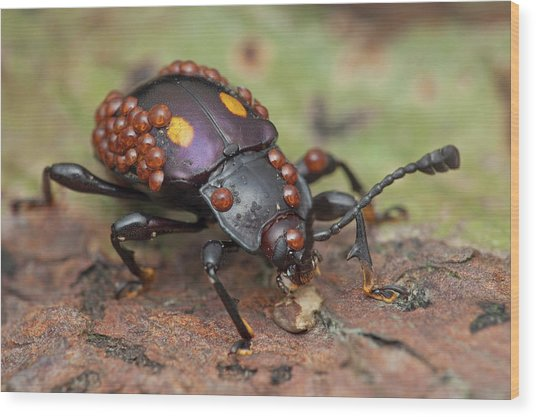 Mites On Fungus Beetle Wood Print by Melvyn Yeo/science Photo Library