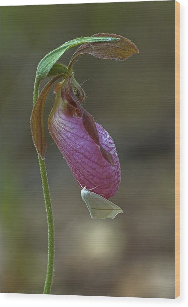 Moccasin Flower  Wood Print