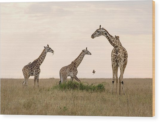Mom Giraffe And Twins In Color Wood Print