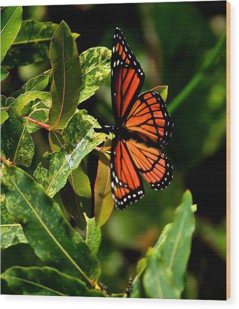 Viceroy Butterfly II Wood Print