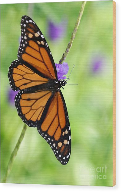 Monarch Butterfly In Spring Wood Print