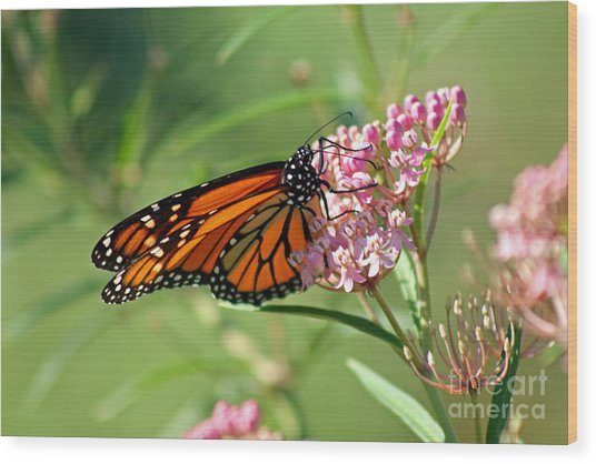 Monarch Butterfly On Milkweed Wood Print