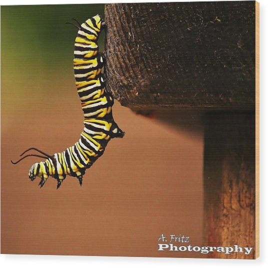 Monarch Caterpiller Wood Print