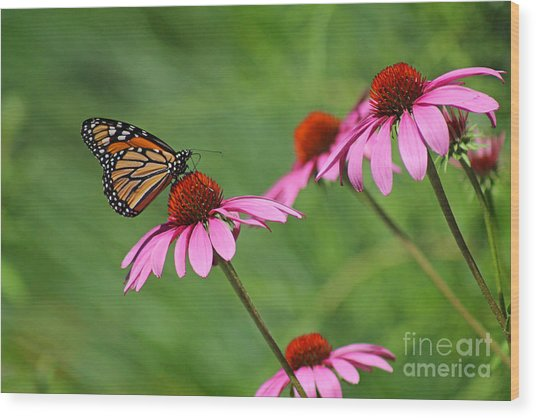 Monarch On Garden Coneflowers Wood Print