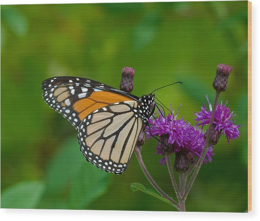 Monarch On Iron Weed Wood Print