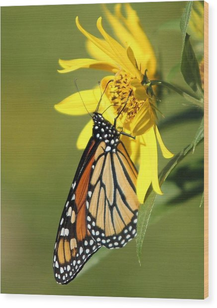 Monarch On Jerusalem Artichoke Wood Print