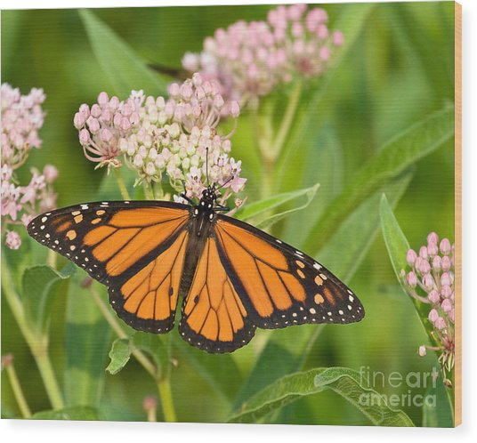 Monarch On Pink Wood Print