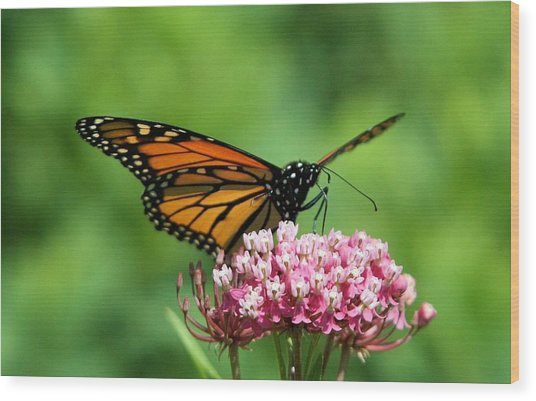 Monarch On Pink Wildflower Wood Print