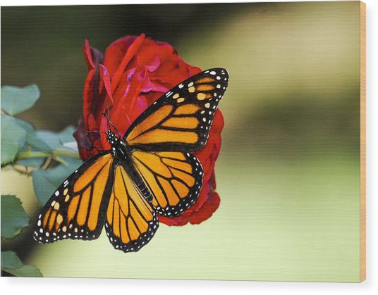 Monarch On Rose Wood Print
