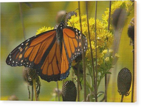 Monarch On Stiff Goldenrod Wood Print
