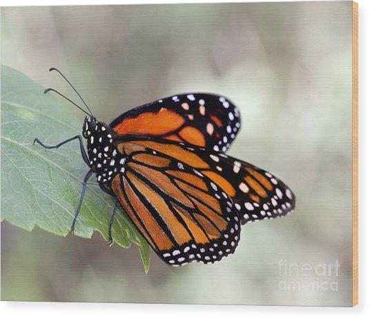 Monarch Resting On A Leaf Wood Print