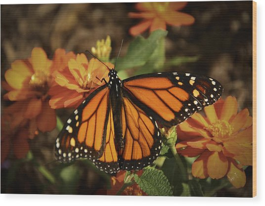 Monarch Spotlight. Wood Print