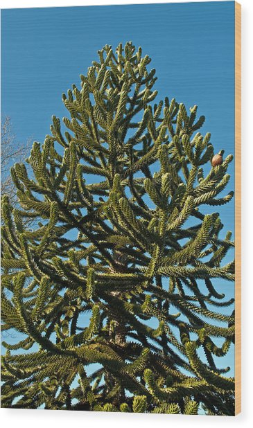 Monkey Puzzle Tree E Wood Print
