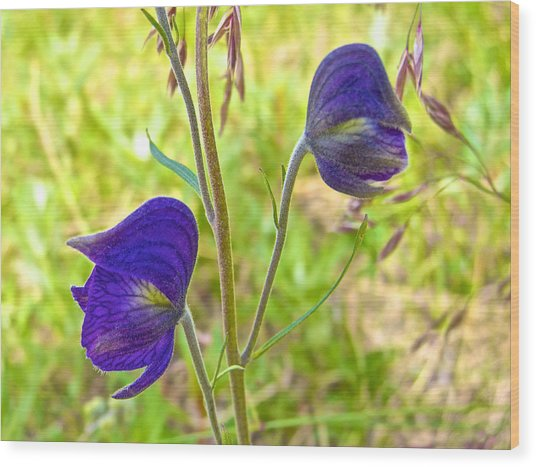 Monkshood On Alpine Tundra Trail At  Eielson Visitor's Center In Denali Np-ak  Wood Print