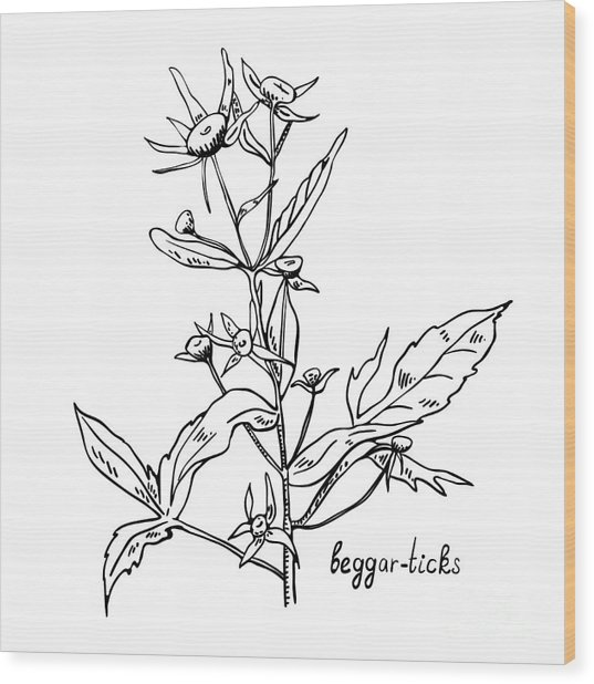 Monochrome Image Beggarticks Herb Wood Print