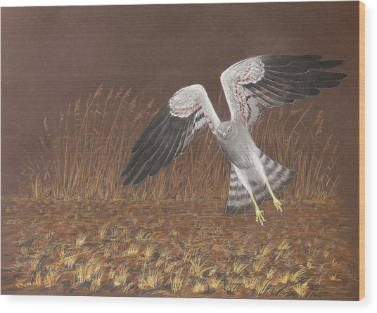 Montagus Harrier Wood Print by Deak Attila