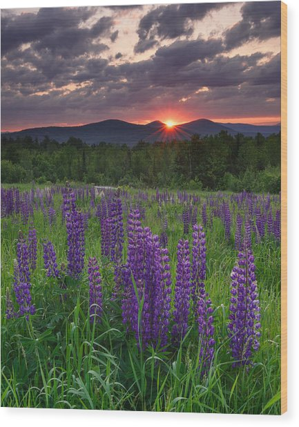 Moody Sunrise Over Lupine Field Wood Print