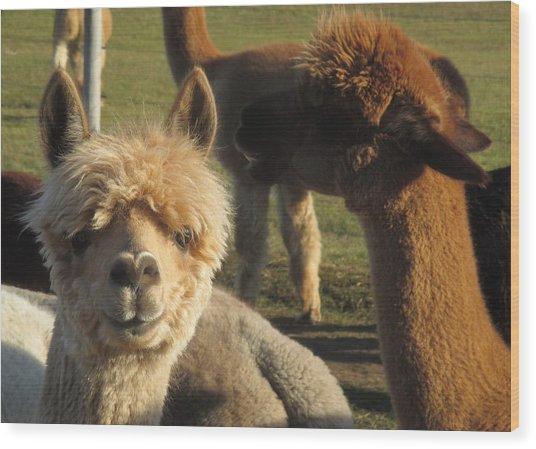 Moonacre Alpacas 2 Wood Print