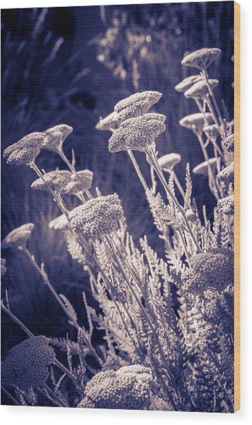Moonlight Yarrow Wood Print
