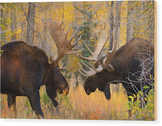 Moose Battle Wood Print
