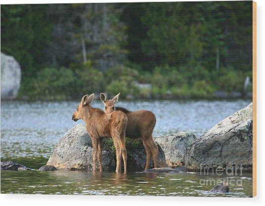 Moose Calves In Maine Wood Print