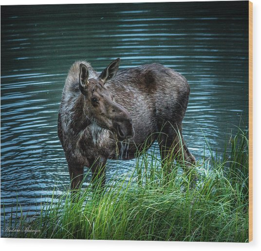 Moose In The Water Wood Print