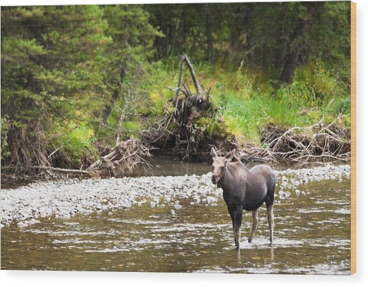 Moose In Yellowstone National Park   Wood Print