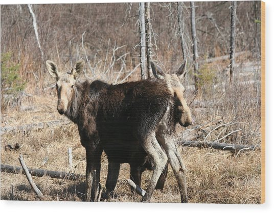 Moose X Two Wood Print by Carolyn Reinhart