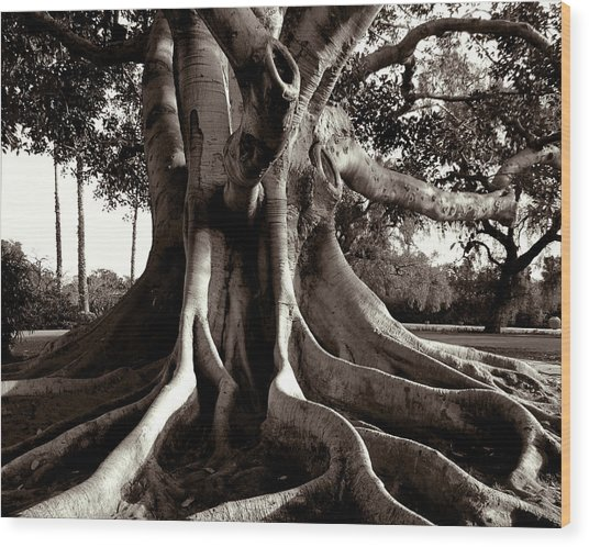 Moreton Bay Fig Wood Print