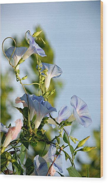 Morning Glories Wood Print
