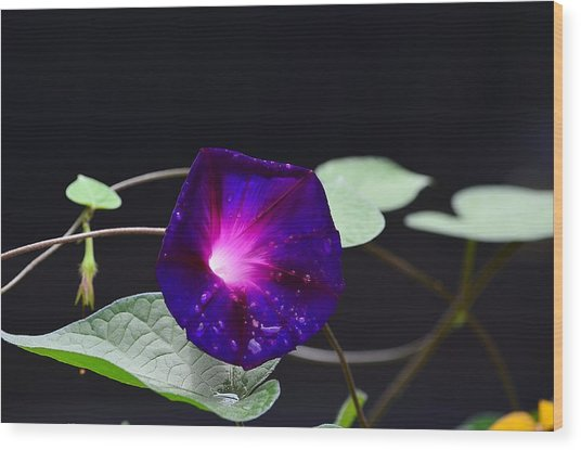 Morning Glory - Grandpa Ott's Wood Print