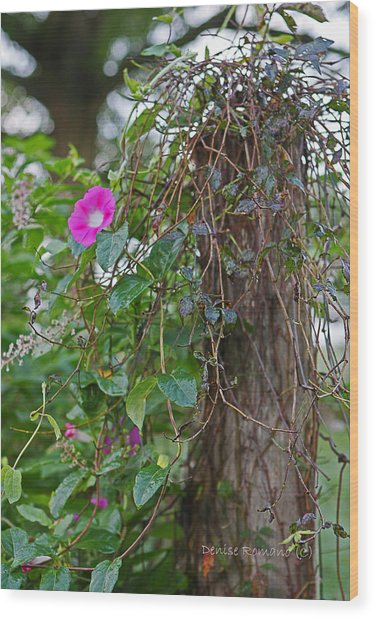 Morning Glory On The Fence Wood Print