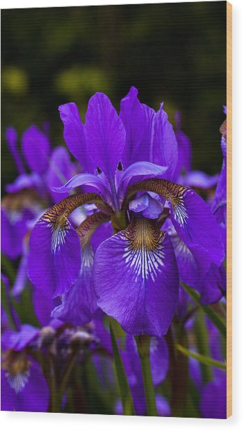 Morning Iris Wood Print