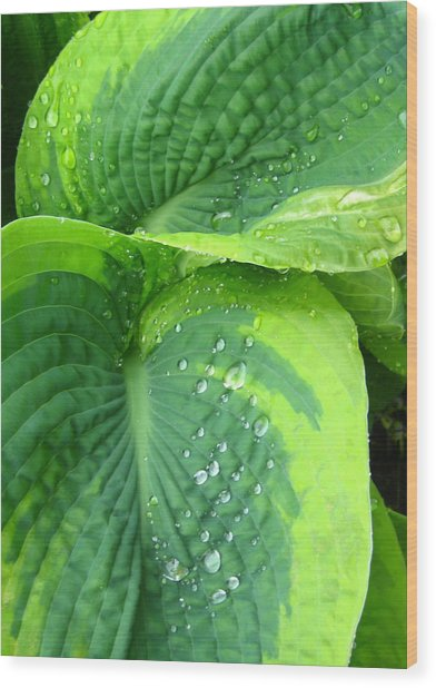 Morning Rain Hosta Wood Print