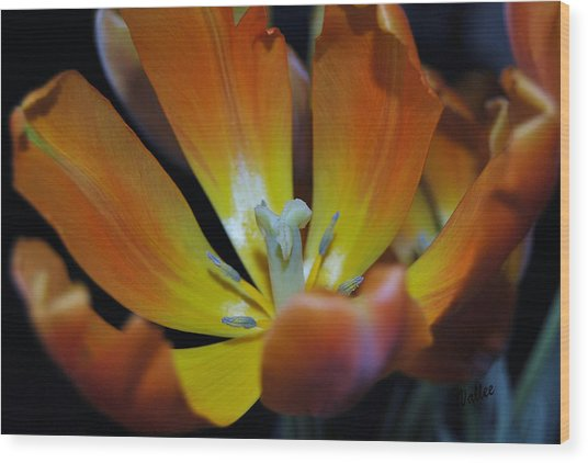 Morning Tulip Wood Print by Vallee Johnson