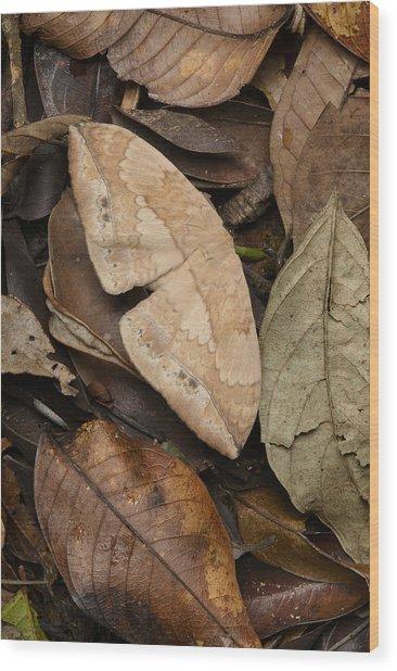 Moth Camouflaged Against Leaf Litter Wood Print