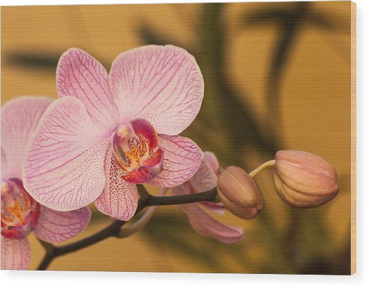 Moth Orchid Wood Print