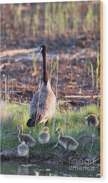 Mother Goose And Goslings Wood Print