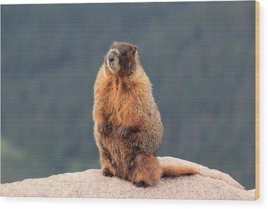 Mother Marmot Wood Print