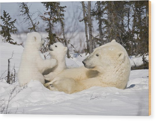 Mother Polar Bear Watches Her Cubs Play Wood Print