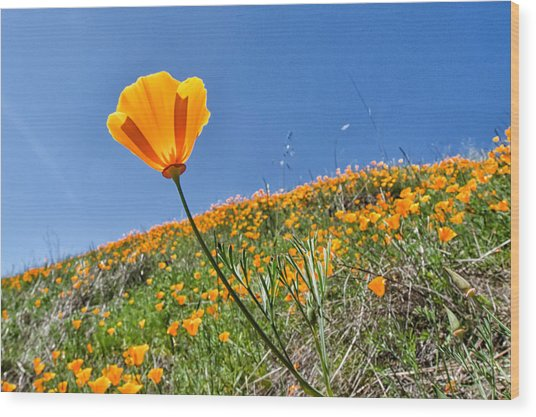 Mount Diablo Poppy Field Wood Print by Robert Rus