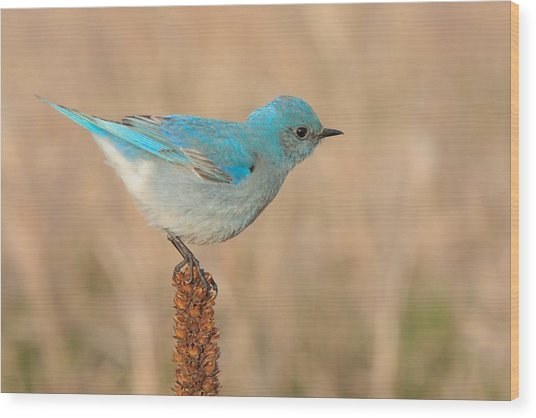 Mountain Bluebird Wood Print
