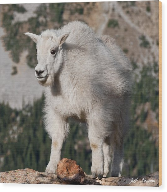 Mountain Goat Kid Standing On A Boulder Wood Print